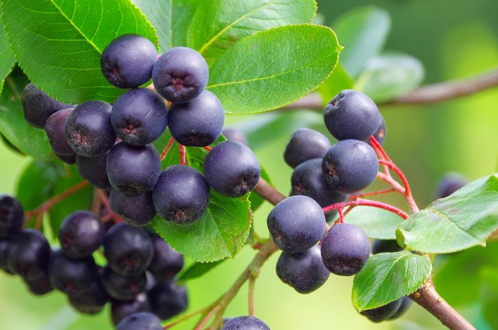 Заготовка ягод черноплодной рябины