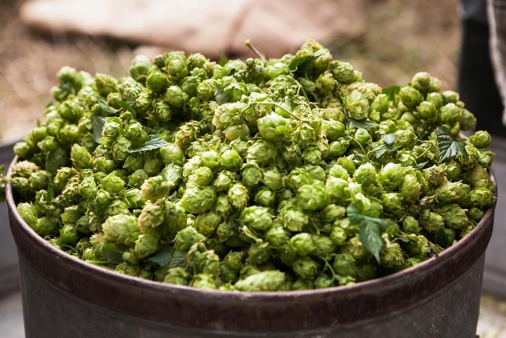 Особенности приготовления браги из зеленого солода