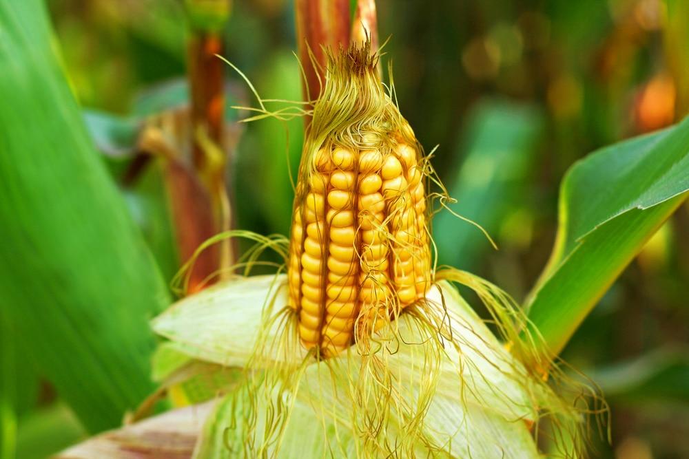 Самогоноварение из кукурузного сырья
